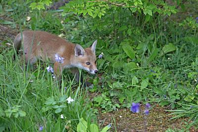 Photograph - Fox Cub Exploring by Peter Walkden