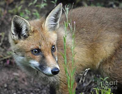 English Fox Hunting Photograph - Fox Cub by Tony Craddock