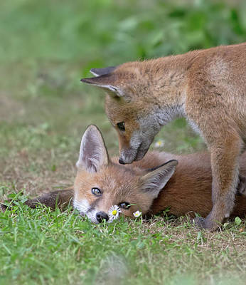 Photograph - Fox Cubs And The Daisies by Peter Walkden
