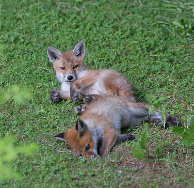 Photograph - Fox Cubs Chilling Out by Peter Walkden