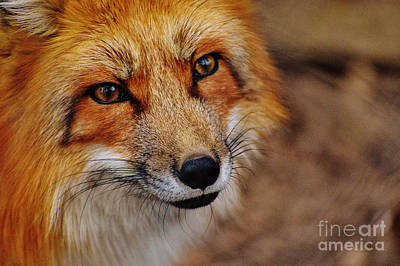 Photograph - Fox by Doc Braham