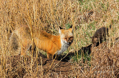 Photograph - Fox Family by Steve Krull