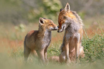 Bonding Photograph - Fox Felicity II - Mother And Fox Kit Showing Love And Affection by Roeselien Raimond