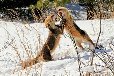 Fox Fight Art Print by Geraldine Scull