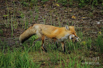 Photograph - Fox Gathering Lunch by FotoSchut Photography