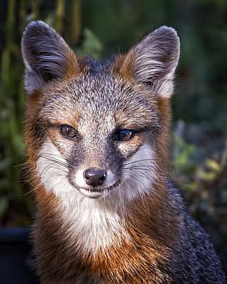 Photograph - Fox Gaze by Alan Raasch