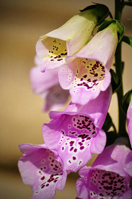 Fox Gloves Art Print by Bill Cannon