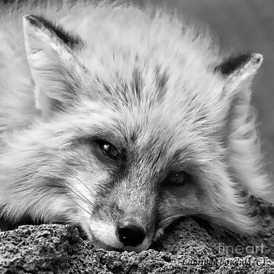 Photograph - Fox Head Black And White Square Format by Laurinda Bowling