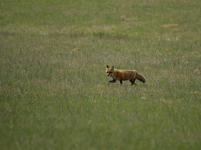Photograph - Fox In Field by Buddy Scott
