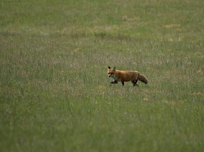 Photograph - Fox In Field by Buddy Scott