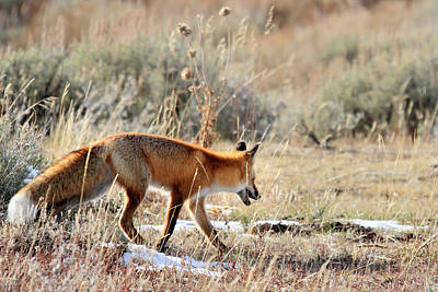 Photograph - Fox In Grand Teton National Park by Pierre Leclerc Photography