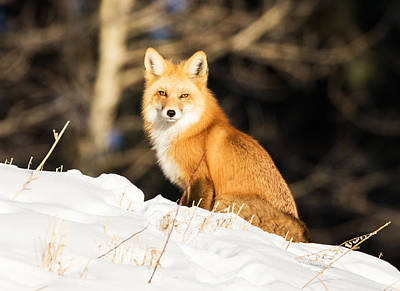 Red Fox Photograph - Fox In Snow #3 by Mindy Musick King