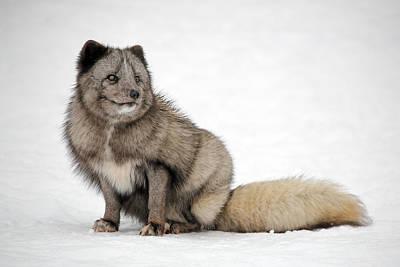 Photograph - Fox In Snow by Grant Glendinning