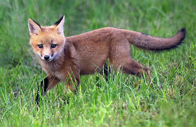 Photograph - Fox In The Grass by Art Cole