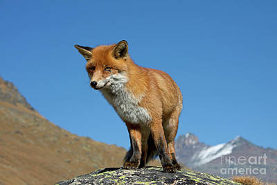 Photograph - Fox In The Mountains by Arterra Picture Library