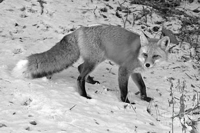 Photograph - Fox In The Snow Black And White by Adam Jewell
