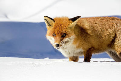 Photograph - Fox In The Snow by Pietro Ebner