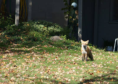 Photograph - Fox In The Yard. by Ron Read