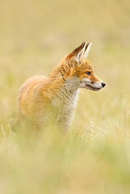 Fox In Thoughts Art Print by Roeselien Raimond