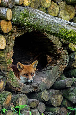 Photograph - Fox In Woodpile by Arterra Picture Library