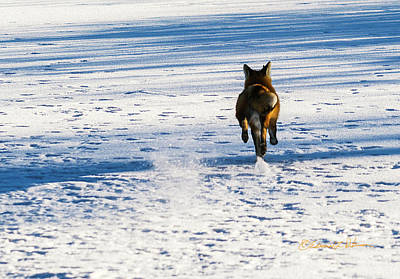 Photograph - Fox Kicking Snow by Edward Peterson