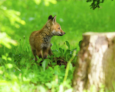 Photograph - Fox Kit - 2 by Kristin Hatt