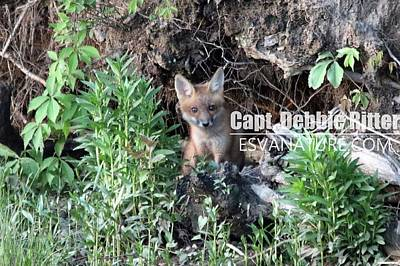 Photograph - Fox Kit 2766 by Captain Debbie Ritter