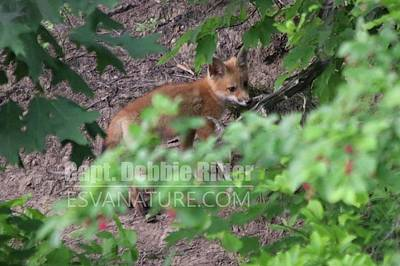 Photograph - Fox Kit 4795 by Captain Debbie Ritter