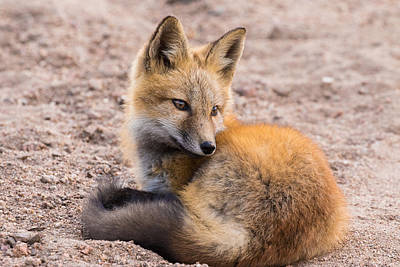 Fox Kit At Dusk #8 Art Print by Mindy Musick King