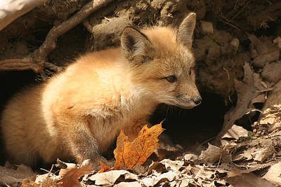 Print featuring the photograph Fox Kit At Entrance To Den by Doris Potter