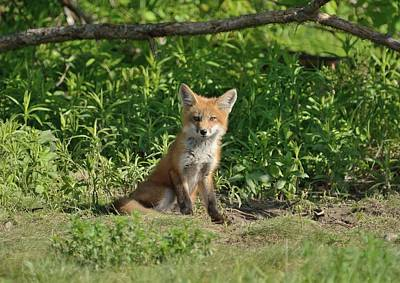 Photograph - Fox Kit Guarding The Den by David Porteus