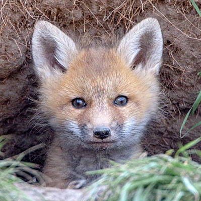 Photograph - Fox Kit by Jack Bell