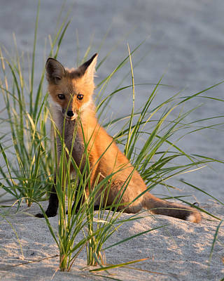Photograph - Fox Kit Portrait by Bill Wakeley