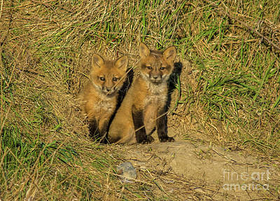 Photograph - Fox Kit Siblings by Cheryl Baxter