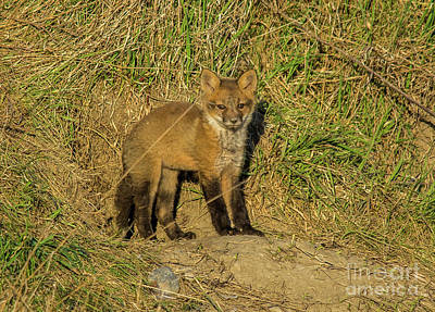 Photograph - Fox Kit Standing by Cheryl Baxter
