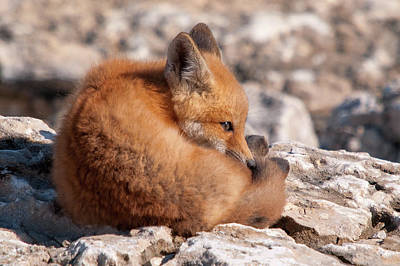 Photograph - Fox Kit by Steve Stuller