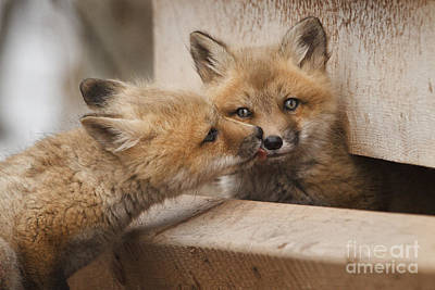 Fox Kits Original by Brittany Crossman