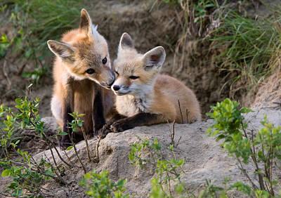 Fox Kits Canada Print by Mark Duffy