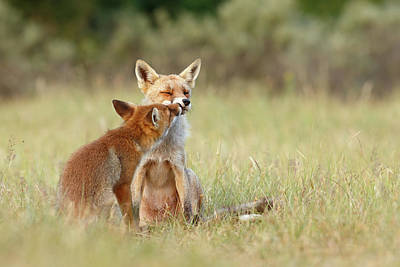 Sorrel Photograph - Fox Love Series - Kiss by Roeselien Raimond