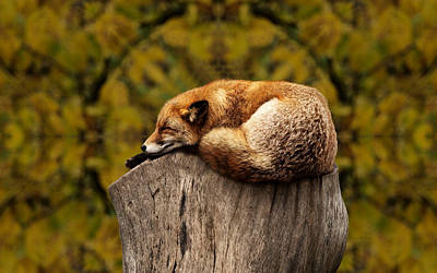Photograph - Fox Napping by Ericamaxine Price