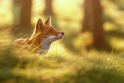 Laugh Photograph - Fox Of Hope by Roeselien Raimond