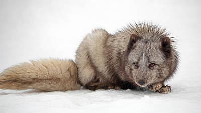 Photograph - Fox On Snow by Grant Glendinning