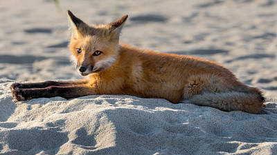 Fox On The Beach Print by Bill Wakeley