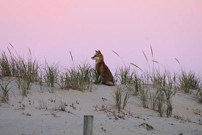 Photograph - Fox On The Dune At Dawn by Robert Banach