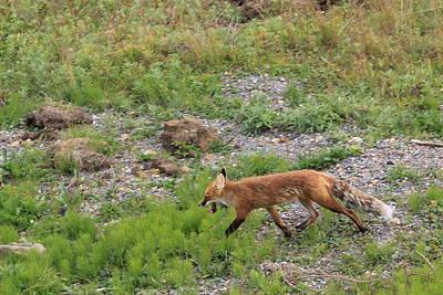 Photograph - Fox On The Run by David Wilkinson
