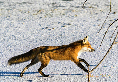 Photograph - Fox On The Run by Edward Peterson