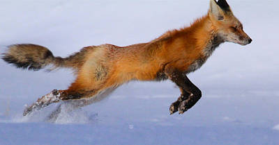 Photograph - Fox On The Run by Paul Marto