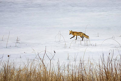 Photograph - Fox On The Run by Penny Meyers