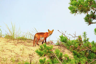 Photograph - Fox On The Sand Dune by Allan Levin