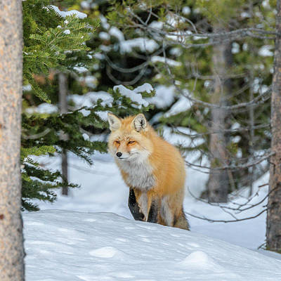 Photograph - Fox On The Trail by Yeates Photography